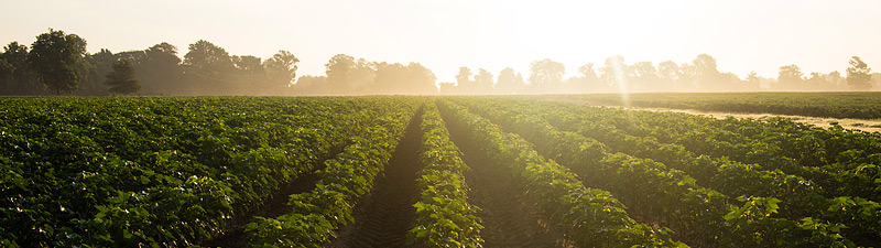 Mississippi delta rows of crops at sunrise